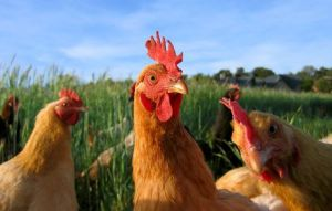 Chickens and Roosters