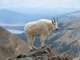High Mountain Goat
