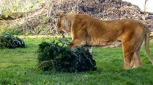 Female Lion with Tree.jpg