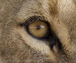 One Eye Lion