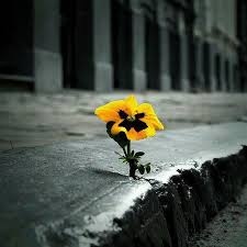 Pansy in Concrete